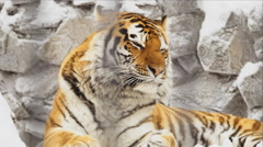 Portrait of Amur tiger sleeps on a stones in zoo Stock Footage