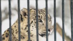 Potrait of the snow leopard in a cage in a zoo Stock Footage