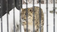 The snow leopard walks into a cage in a zoo Stock Footage
