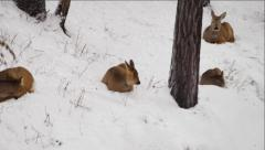 The deers rest on a snow at a forest Stock Footage