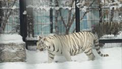 White bengal tiger walks in a zoo cage in the winter Stock Footage