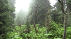 The spruce virgin forests in the NPR Praded - stock footage