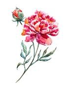 Watercolor raster peony - stock illustration