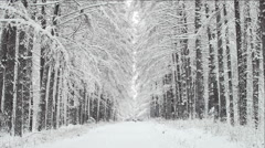Alley and the row of a trees in a winter forest Stock Footage