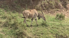 Eland feed on bush with Oxpecker on stomach in Masai Mara Stock Footage