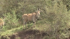 Eland walk in bush in Masai Mara Stock Footage