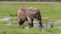 Elephant male feeding in swamp in Amboseli. Stock Footage