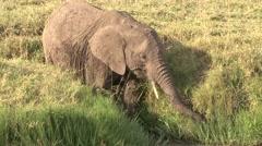 Elephant male feeding on grass in Masai Mara. Stock Footage
