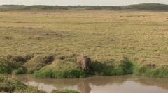 Elephant male feeding on grass in Masai Mara, kenya. Stock Footage