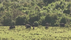 Giant Forest Pig family feed in clearing in Aberdare. Stock Footage
