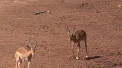 Grant's Gazelle fighting on riverbank in Samburu. Stock Footage