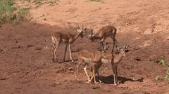 Grant's Gazelle herd walk on riverbank in Samburu. Stock Footage
