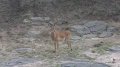Grant's Gazelle walking in bush of Masai Mara Stock Footage