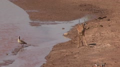 Grant's Gazelle walk warily to river and drink in Samburu Stock Footage