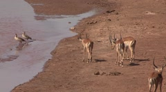 Grant's Gazelle walk warily to river and drink while 2 are fighting in Samburu Stock Footage