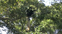 Guereza Black and White Colobus looking around high up in the tree in Aberdar Stock Footage
