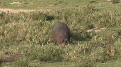 Hippopotamus feeding on grass plains of Masai Mara Stock Footage