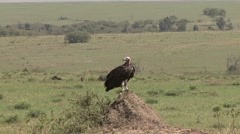 Lapped-faced Vulture standing on lookout Stock Footage