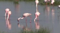 Stock Video Footage of Lesser Flamingos feeding in Nakuru