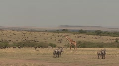 Masai Giraffe and Common Zebra and Black Wildebeast herd on plains in Masai M Stock Footage