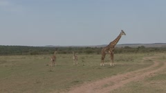 Masai Giraffe family with juveniles stand on the lookout on plains of Masai M Stock Footage