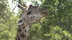Masai Giraffe feeding on bush in Masai Mara. Stock Footage