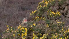 Linnets (Carduelis cannabina) mating on gorse bush Stock Footage