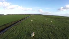Sheep aerial drone low flight over polder landscape with herd of white sheeps 4k Stock Footage