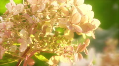 White hydrangea flowers swaying  - stock footage