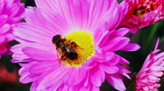 Flower fly on a flower pink chrysanthemum - stock footage