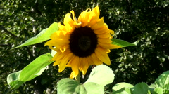 Beautiful sunflower in the field Stock Footage