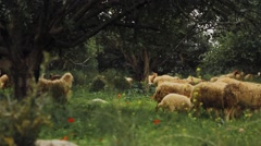Flock of sheep path thru olive tree field. Pan Right. Stock Footage