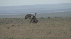 Shot of a female ostrich.  Stock Footage