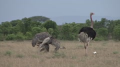 Ostrich male and femal displaying. Stock Footage