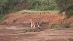 Reticulated Giraffe drinking water in Samburu 4 Stock Footage