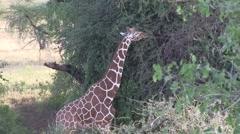 Reticulated Giraffe feeding in bush in Samburu. Stock Footage