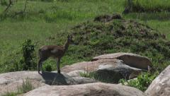 Klipspringer couple on rocks Stock Footage