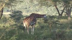 Rotchild Giraffe feeding on bush in Nakuru. Stock Footage