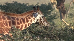 Rotchild Giraffe feeding on bush in Nakuru. Stock Footage