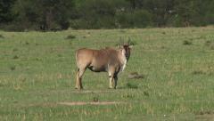 Eland  (Taurotragus oryx)   grazing on plain Stock Footage