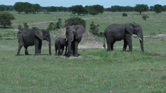 Elephant baby ( Loxodonta africana) with mother and aunts Stock Footage