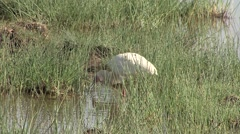 Spoonbill looking for food in water Stock Footage