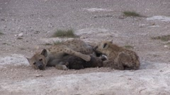 Spotted Hyena female suckle young Stock Footage