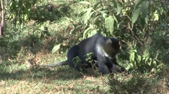 Sykes Monkey looking for food in Aberdare Stock Footage