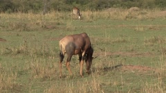 Topi herd feeding on grass plains Stock Footage