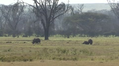 White Rhinos feeding in bush in Nakuru Stock Footage