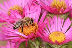 Aster Flower with Bee Stock Photos