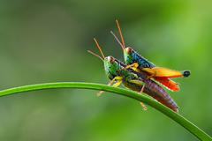 Grasshopper sitting on top of another grasshopper - stock photo