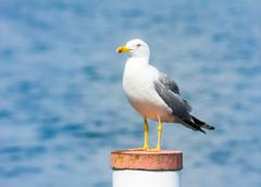 yellow-legged gull - stock photo