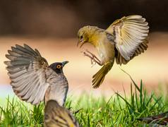 Birds competing for food in a garden, South Africa Stock Photos
